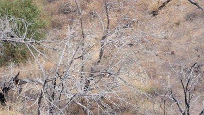 Coues deer large buck in old burn standing alert,exits