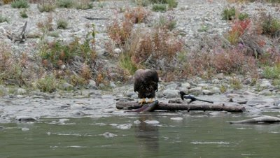 Bald Eagle juvenile feeding on spawning silver salmon,coho salmon. Black billed Magpie waiting for a share.