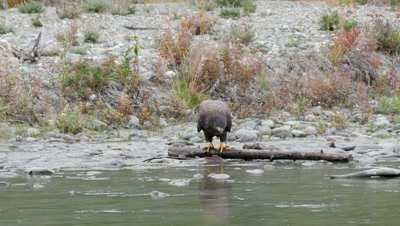 Bald Eagle juvenile feeding on spawning silver salmon,coho salmon.