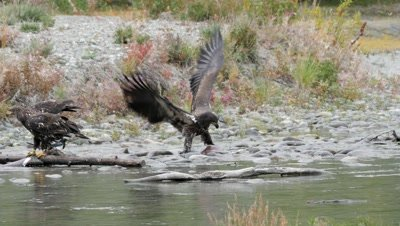 Bald Eagle juveniles feeding on spawning silver salmon,coho salmon. Black billed Magpie waiting for a share.