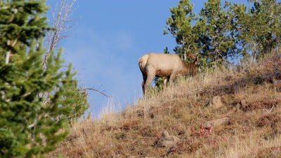 Elk cow feeding on the skyline head appears in foreground