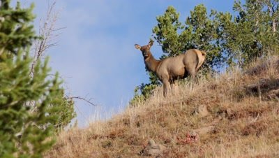 Elk cow feeding on the skyline watching then flees