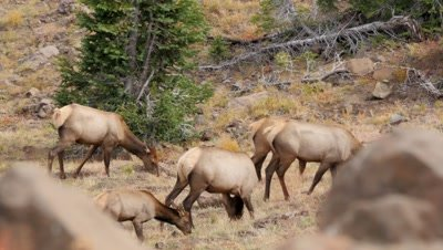 Elk cows and calves feeding above forest