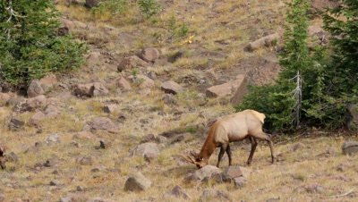 Elk young bull,spike,feeding above forest