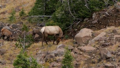 Elk cow and calf feeding above forest