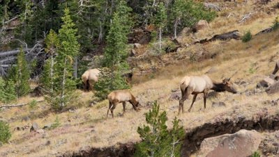 Elk cows and calf feeding above forest