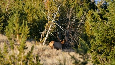 Elk bull in forest clearing