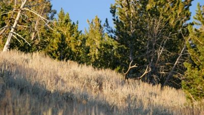 Elk bull in forest clearing antlers only showing above sagebrush