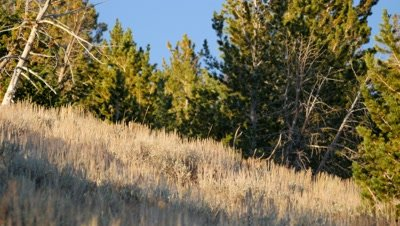 Elk bull in forest clearing antlers only showing above sagebrush disappears into forest
