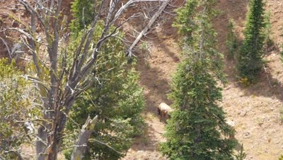 Elk herd,cows and calves feeding in open forest on a hot day