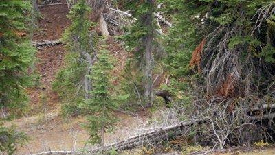 Elk bull in rut thrashes antlers and walks forward