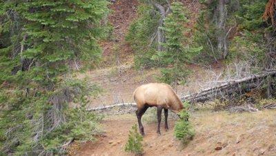 Elk bull feeding,looks behind