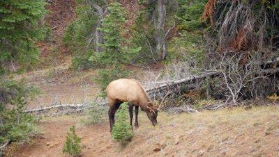 Elk bull feeding in forest clearing