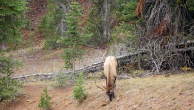 Elk bull feeding in forest clearing,looks around