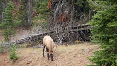 Elk bull feeding in forest clearing,exits