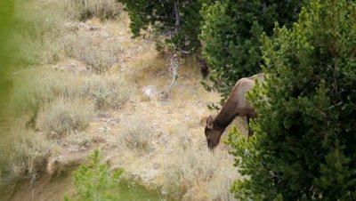 Elk cows feeding on sagebrush on forest edge.