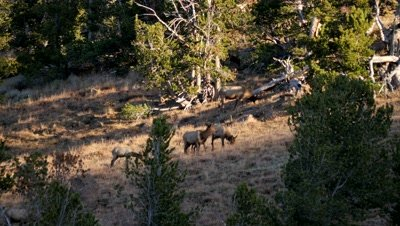 Elk cows and calves feeding among scattered trees