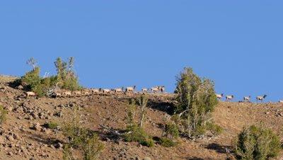 Elk herd,cows calves and bull crossing skyline ridge,bull bugles