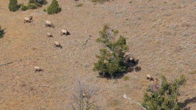 Elk herd,cows calves and bull feeding on open hillside