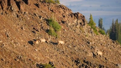 Elk cows and calves crossing steep rocky hill side,exit