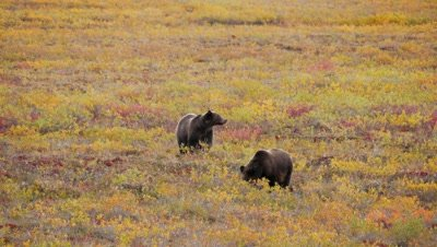 Grizzly bears 2 year old cubs digging for tubers roots. Fall colors.