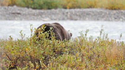 Grizzly bear mature male hunting digging for ground squirrel. Fall colors.