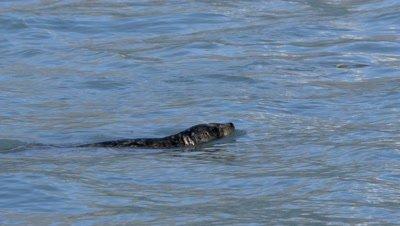 Harbor Seal dives