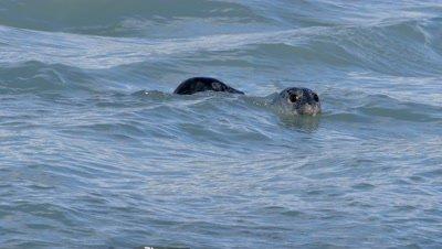 Harbor Seals among pink salmon,fish jumps
