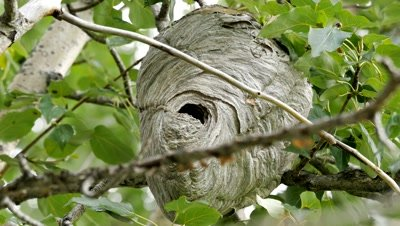 Bald-Faced Hornet nest,workers emerging and arriving