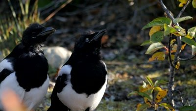 Black-billed Magpie calling and feeding on carrion