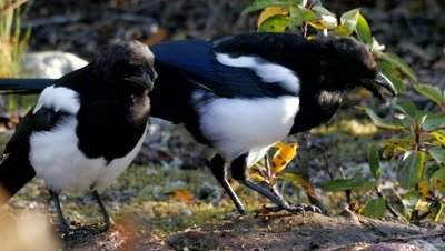 Black-billed Magpie feeding on carrion,close-up