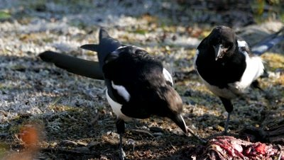 Black-billed Magpie feeding on carrion