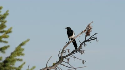 Black-billed Magpie perched on dead branch