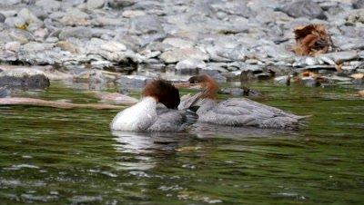 Common Merganser females preening