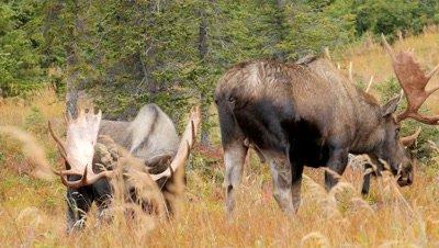 Moose two bulls sparing