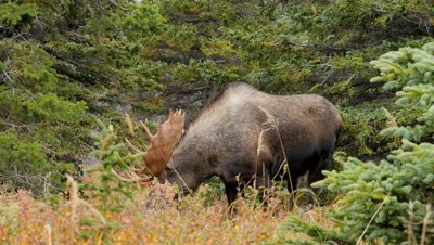 Moose large bull feeding in forest