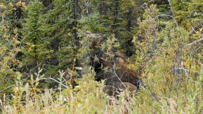 Moose cow and calf inside forest edge cow testing the air