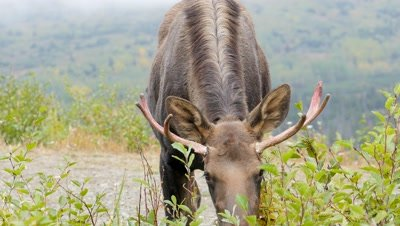 Moose young bull with nose full of porcupine quills,feeding