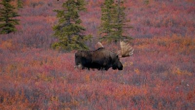 Moose large bull at dusk walking through brush,fall colors