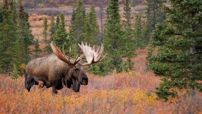 Moose large bull,fall colors
