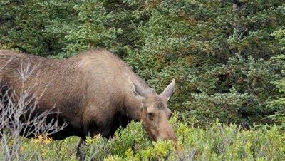 Moose cow feeding on willow