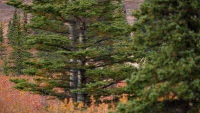 Moose large bull walking behind trees,fall colors