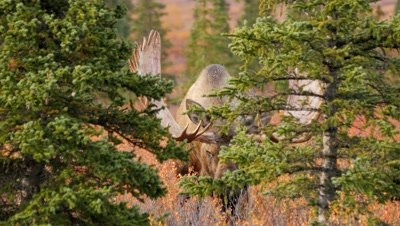 Moose large bull emerges from behind trees,fall colors