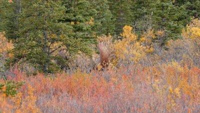 Moose large bull raking antlers in willow,fall colors