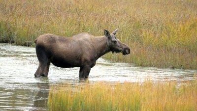Moose cow feeding in pond
