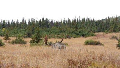 Moose bull in long grass