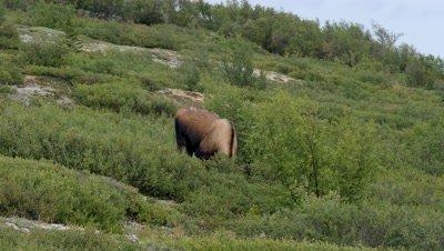 Moose cow eating fungus