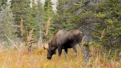 Moose young bull feeding,velvet hanging of antler