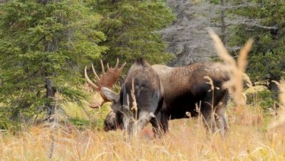 Moose bull touching cow with antlers