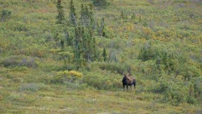 Moose bull with velvet covered antlers